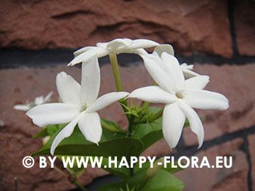 jasminum sambac bei happy flora arabischer jasmin melati. Black Bedroom Furniture Sets. Home Design Ideas