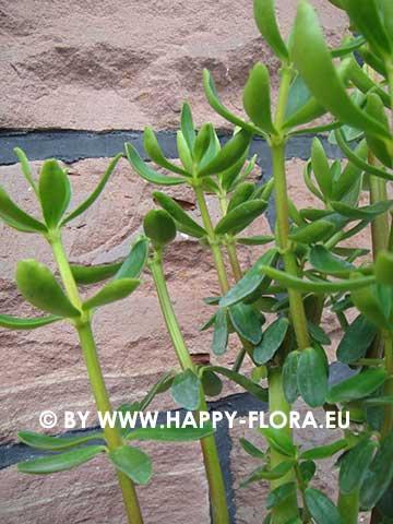 Peperomia inaequalifolia