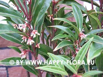 Sarcococca hookeriana var. digyna 'Purple Stem'